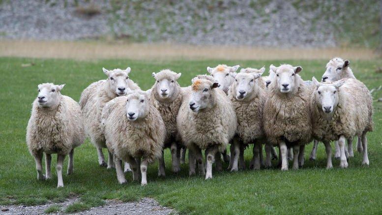 Βγάζουν σε ηλεκτρονικό πλειστηριασμό και… πρόβατα!