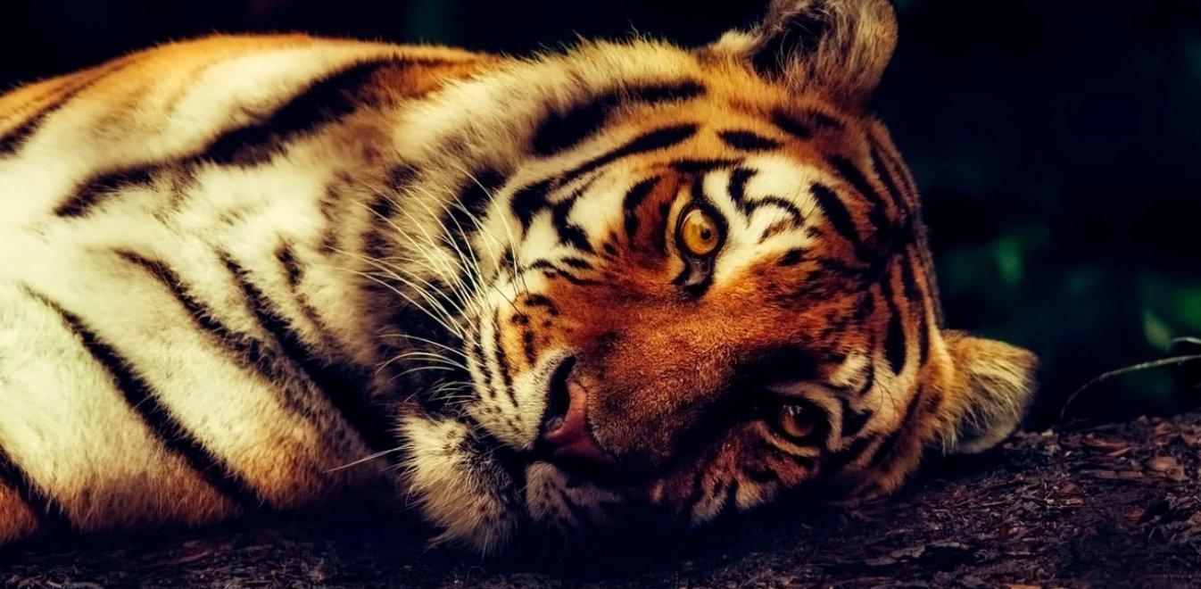 COVID-19 – Νέα Υόρκη: Θετική στον κορονοϊό μια τίγρης – Την κόλλησε φύλακας του πάρκου
