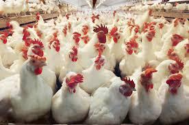 """Σέρρες : Οι κότες """"γεννούσαν """" ναρκωτικά"""
