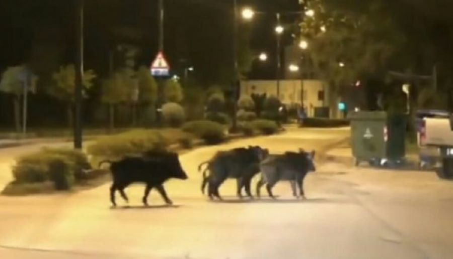 "Lockdown: Αγριογούρουνα ""βολτάρουν"" ανενόχλητα στο Πανόραμα Θεσσαλονίκης – ΒΙΝΤΕΟ"