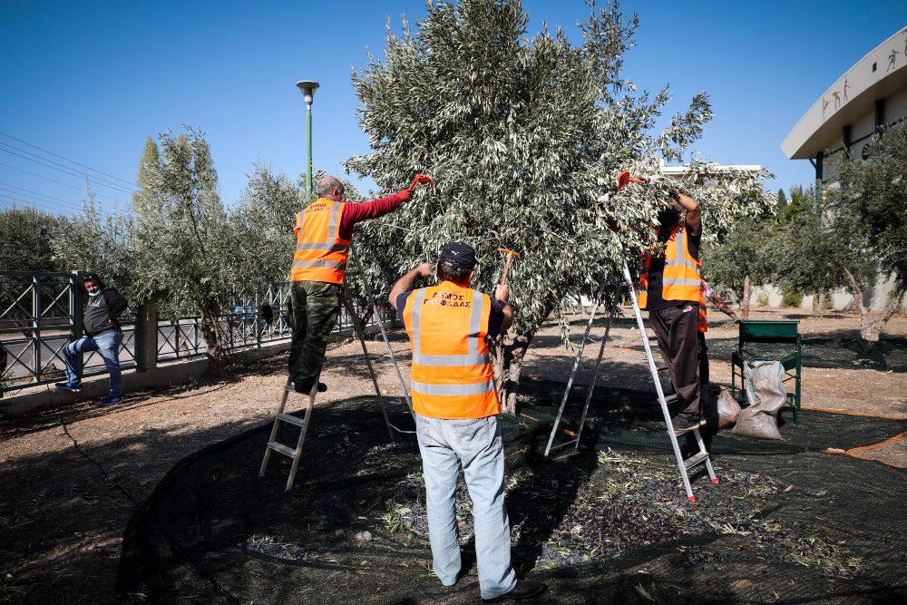 Μάζεμα ελιάς στη Γλυφάδα για τις ανάγκες του κοινωνικού παντοπωλείου