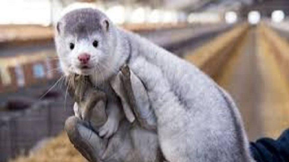 Δανία: Αποτελεσματικό εμβόλιο στα ζώα εναντίον του μεταλλαγμένου στελέχους κορονοϊού
