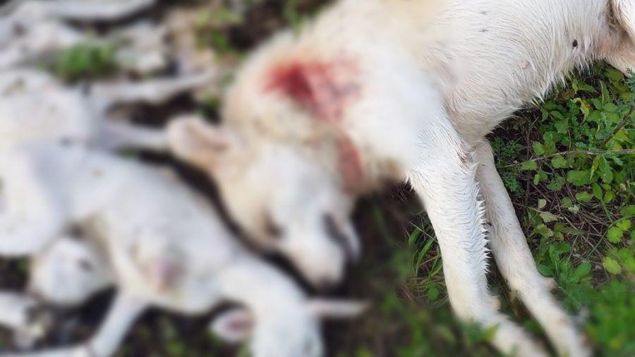 Iωάννινα: Φριχτό έγκλημα με πυροβολημένο σκύλο και νεκρά αρνάκια στο χωριό Τύρια