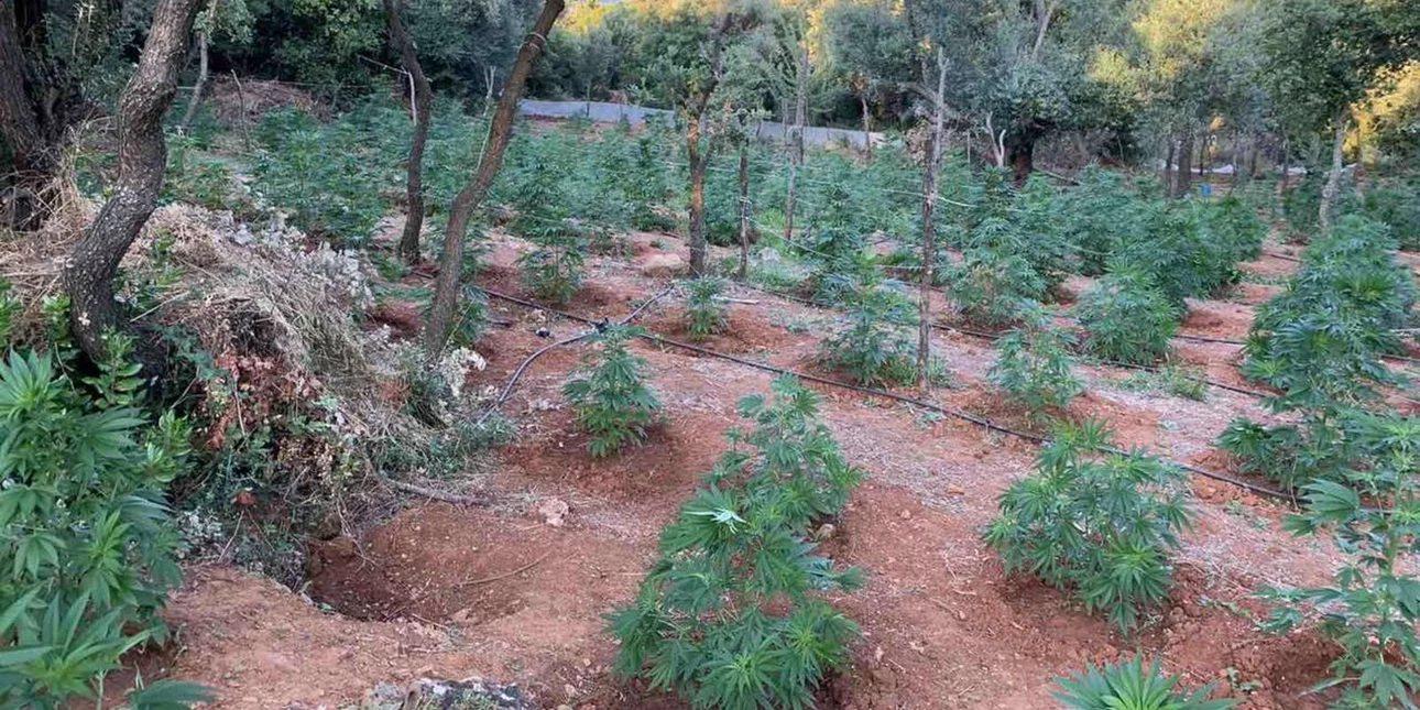 Κρήτη: Η αστυνομία βρήκε πάνω από 700 δενδρύλλια κάνναβης -Τρεις συλλήψεις