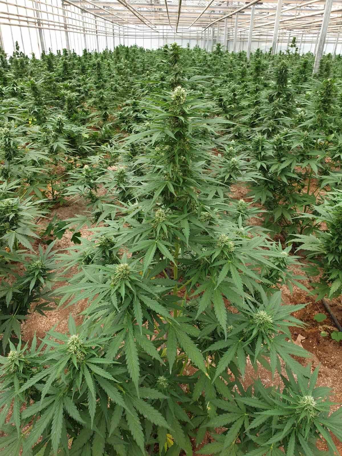 """Ανάβυσσος: Τεράστια φυτεία χασίς με """"βιτρίνα"""" καλλιέργεια κάνναβης – Το καλοστημένο κόλπο και ο τζίρος που… ζαλίζει – ΦΩΤΟ – ΒΙΝΤΕΟ"""