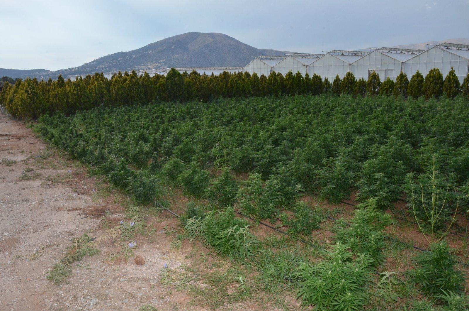 """Ανάβυσσος: Τεράστια φυτεία χασίς με """"βιτρίνα"""" καλλιέργεια κάνναβης"""